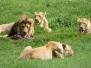 Lions II