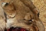lions-17-copy