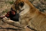 lions-30