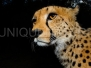 Cheetach feeding