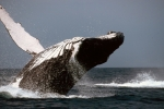 humpback-whale-i