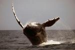 humpback-whale-ii
