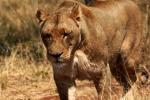 liones