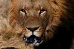 lions-4-copy-i-1