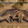 puzzle-12-zebry-prekryvajici-se