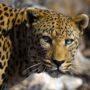 Big leopard LE 2957