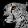 Cheetah 2667 – BW – orange eye