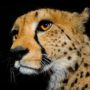 Cheetah 2667 – nature
