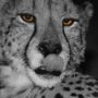 Cheetah 9405 – BW – orange eye