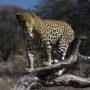Leopard male