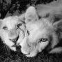 Lion 6672 – BW eye