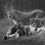 Lions family L 9269 – BW