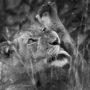 Lvíček Masodini L 1250 – BW