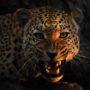 Snarling leopard L 0505 – vzor